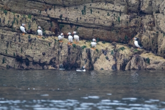 Puffins in a row  on the rocks on Burhou