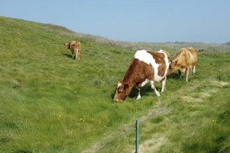 Cows at Longis