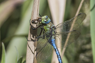 Emperor dragonfly eating bee