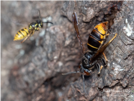 Asian hornet compared with wasp